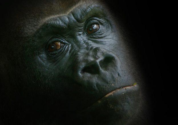 gorilla-1329720_1280